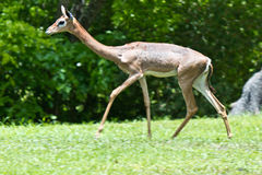 Gerenuk - Also known as the giraffe-necked antelope Royalty Free Stock Photography