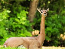 Gerenuk Antelope Royalty Free Stock Photos