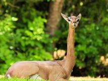 Gerenuk Antelope royalty free stock photos