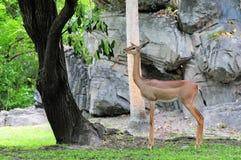 Gerenuk antelope Royalty Free Stock Photography