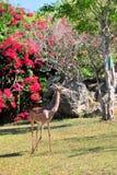 Gerenuk Antelope (Vertical) Stock Images