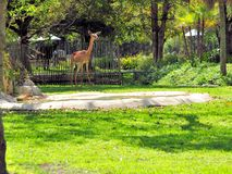 Gerenuk antelope Stock Photography