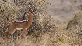 Gerenuk Among Bushes