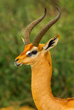 Gerenuk Royalty Free Stock Photos