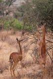 Gerenuk Stock Image