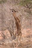 Gerenuk em hindlegs Fotos de Stock