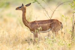 Gerenuk fêmea imagem de stock royalty free