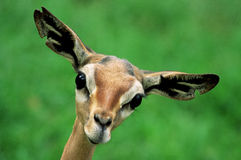 Gerenuk Face Royalty Free Stock Photo