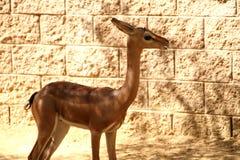 Gerenuk felice Fotografia Stock Libera da Diritti