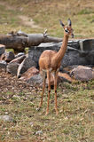 Gerenuk female Stock Photos