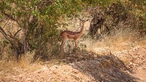 Gerenuk - giraffe gazelle Litocranius walleri royalty free stock photo