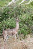 Gerenuk (Litocranius walleri). Royalty Free Stock Images