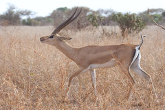 Gerenuk (Litocranius walleri). Royalty Free Stock Photos