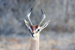 Gerenuk (Litocranius walleri) Stock Photography