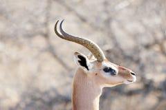 Gerenuk (Litocranius walleri) Royalty Free Stock Photography