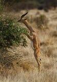 Gerenuk mangeant sur deux pattes Photo libre de droits