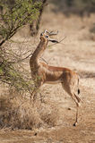 Gerenuk Royalty Free Stock Image