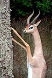 Gerenuk maschio immagini stock