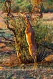 Gerenuk masculino Fotos de archivo