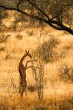 Gerenuk, Samburu, Kenia Royalty-vrije Stock Afbeeldingen