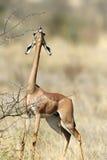 Gerenuk Stock Images