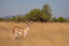 Gerenuk, Kenya, Africa stock photo