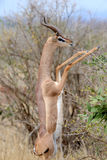 Gerenuk Standing upright to Reach Leaves Royalty Free Stock Image