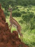 Gerenuk su un monticello della termite Fotografie Stock Libere da Diritti