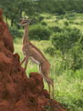 Gerenuk on a termite mound Royalty Free Stock Photos
