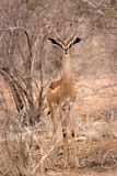 Gerenuk in Tsavo Stock Image