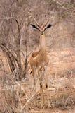 Gerenuk in Tsavo Stockbild