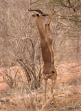 Gerenuk in Tsavo East Royalty Free Stock Photos