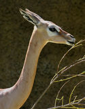 Baby Gerenuk