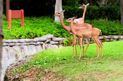 3 gerenuks Стоковое Изображение RF