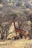 Gerenuks gazelle in Africa Stock Images
