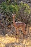 Gerenuks gazelle Stock Photography