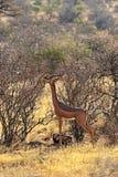 Gerenuks gazelle Royalty Free Stock Photo