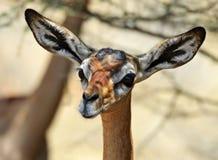 Gerenuks gazelle Royalty Free Stock Photos