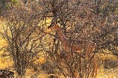 Gerenuks gazelle Stock Image