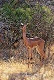 Gerenuks gazelle Royalty Free Stock Images