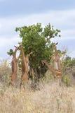 Gerenuks (walleri del Litocranius) che mangia acacia. Immagine Stock