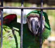 Geretteter eingesperrter Macaw Stockfotografie