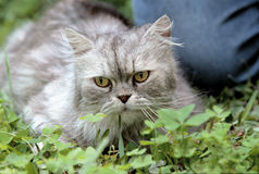 Geriatric cat. Laying in the grass stock photos