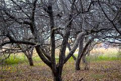 Geriatric and Nude Apple Trees. My friend and I explored this labyrinth of aged apple trees and discovered they made interesting 'metal sculptures, compliments stock photo