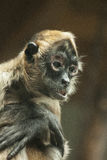 Geriatric Spider Monkey. Wisdom of a geriatric spider monkey Royalty Free Stock Photo