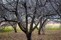 Geriatrische en Naakte Apple-Bomen Stock Foto