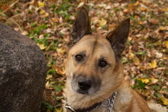 Geriatriska Akita Mix Dog Royaltyfri Foto