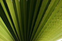 Geribbeld blad van Washingtonia-palm De textuur van de aardinstallatie Stock Fotografie