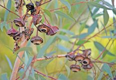Geribbeld fruit van Eucalyptuspachyphylla royalty-vrije stock foto's