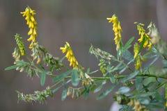 Geribbelde honingklaver (Melilotus-officinalis) stock foto